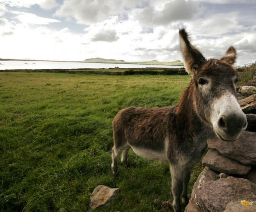 DBS - Donkey looking over a dry stone wall